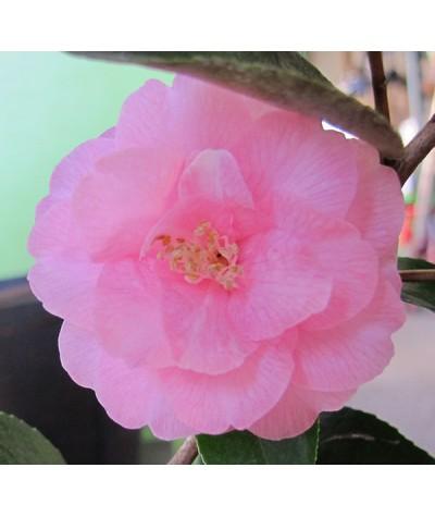 Camellia Spring Festival (7.5lt)