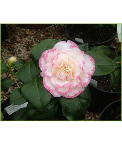 Camellia japonica Margaret Davis (7.5lt)