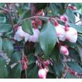 Camellia rosthorniana Cupido (3lt)