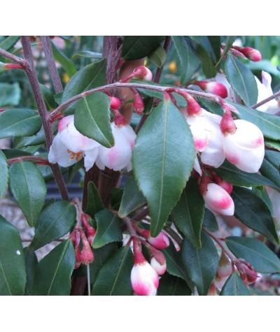 Camellia rosthorniana Cupido (15lt)