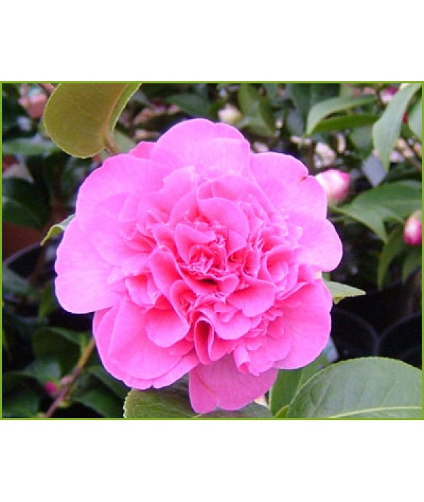 Camellia x williamsii Debbie (3lt)