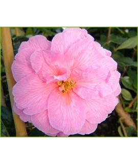 Camellia x williamsii Donation (3lt)