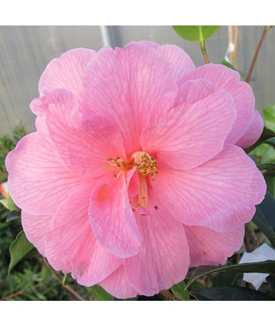 Camellia x williamsii Donation (3lt)