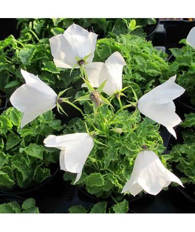Campanula carpatica White Uniform (1lt)