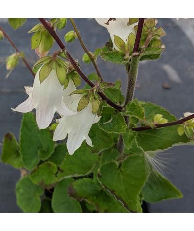 Campanula makaschvilii (1lt)