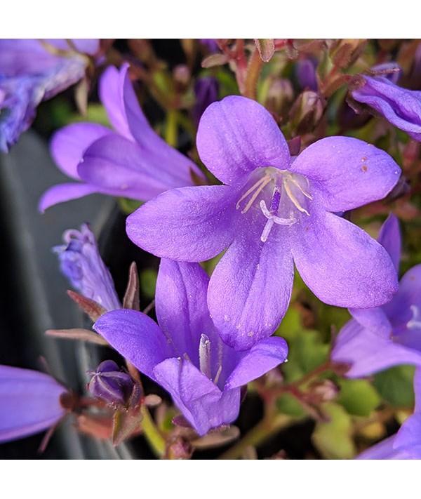 Campanula portenschlagiana Resholdt's Variety (9cm)