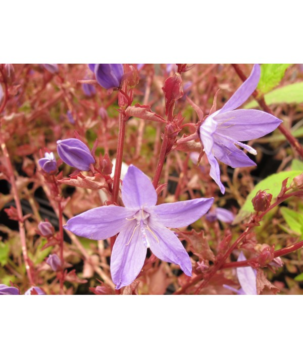Campanula poscharskyana Blue waterfall (1lt)