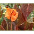 Canna Tropicana (Phasion) (3lt)