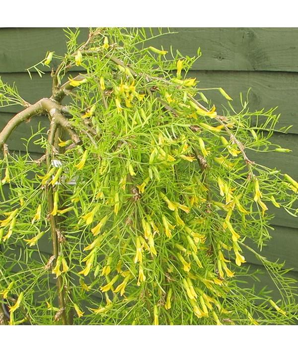 Caragana arborescens Walker (10lt)
