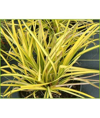 Carex elata Aurea (1.5lt)