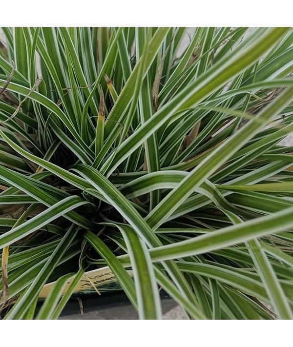Carex oshimensis Everest (1lt)