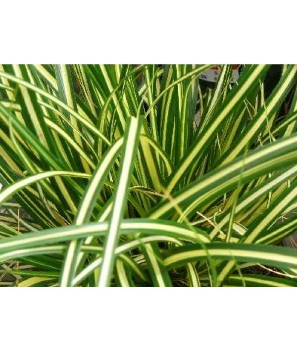 Carex oshimensis Evergold (1lt)