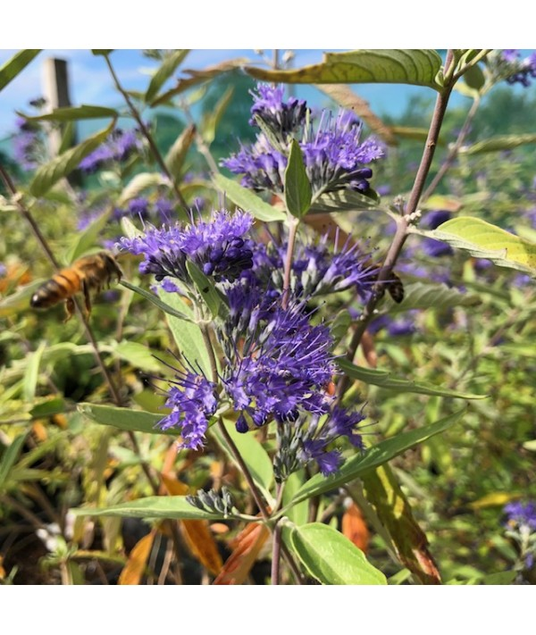 Caryopteris x clandonensis Heavenly Blue (3lt)