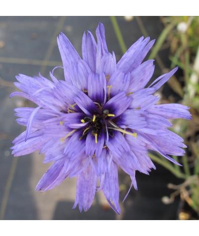Catananche caerula (1lt)