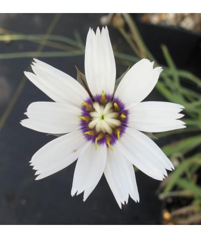 Catananche caerulea Alba (1lt)
