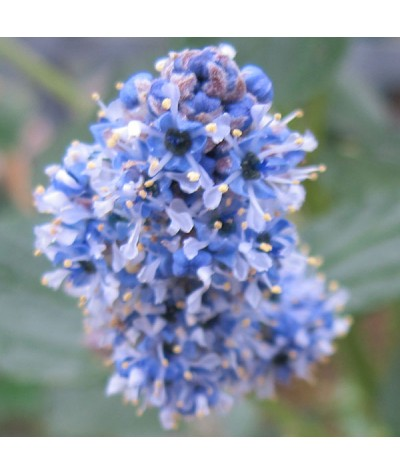 Ceanothus arboreus Trewithen Blue (3lt)