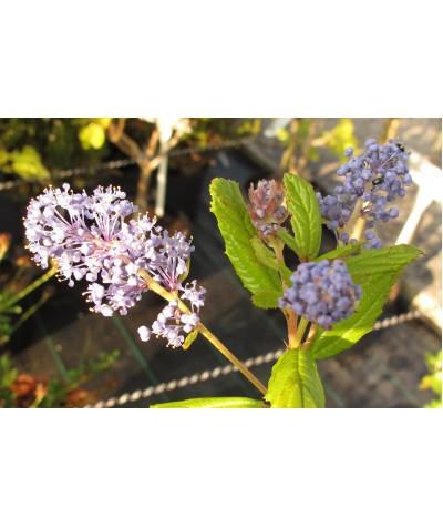 Ceanothus Autumnal Blue (5lt)