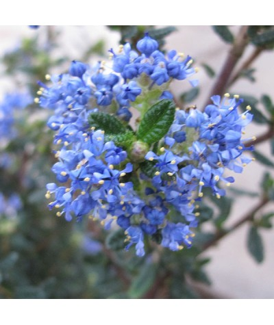 Ceanothus Puget Blue (2lt)
