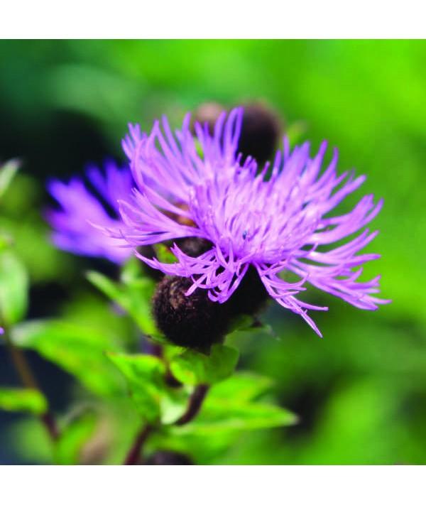 Centaurea Cara Mia (1lt)