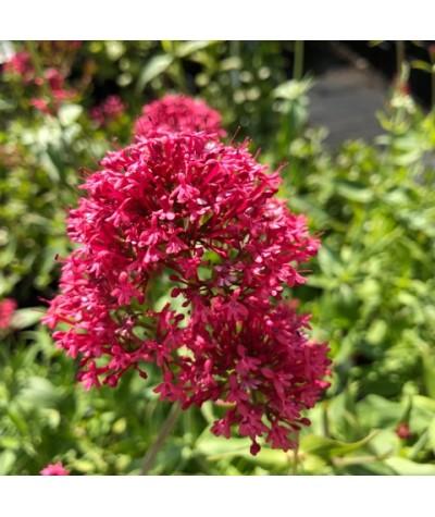 Centranthus ruber Coccineus (1lt)