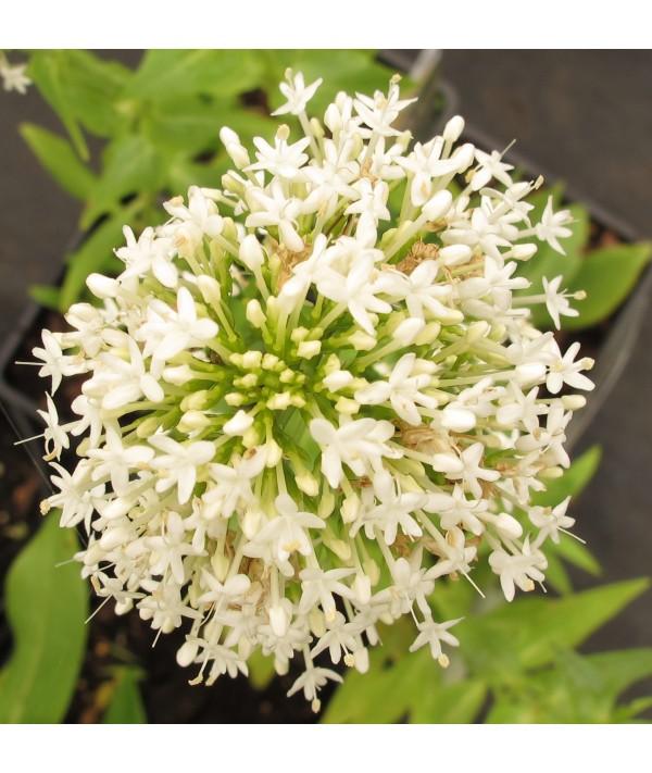 Centranthus ruber Snowcloud (1lt)