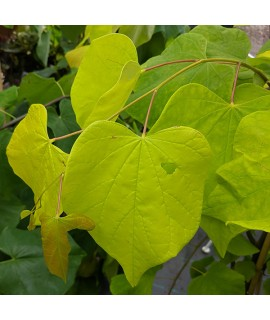 Cercis canadensis Hearts of Gold (12lt)