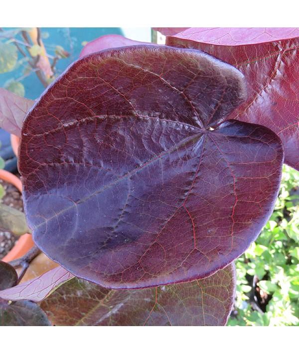 Cercis canadensis Merlot (10lt)