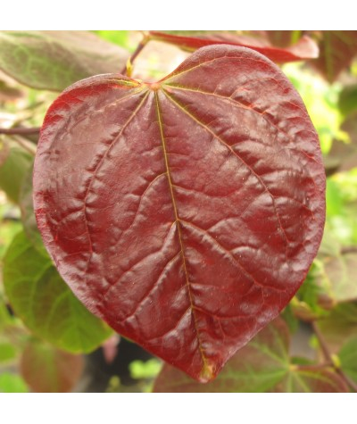 Cercis canadensis Ruby Falls (10lt)