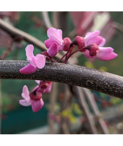 Cercis canadensis Ruby Falls (12lt)