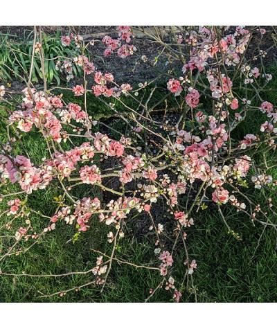 Chaenomeles speciosa Moerloosei (Apple Blossom) (2lt)