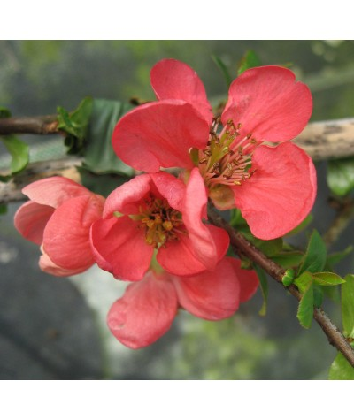 Chaenomeles x superba Pink Lady (3lt)