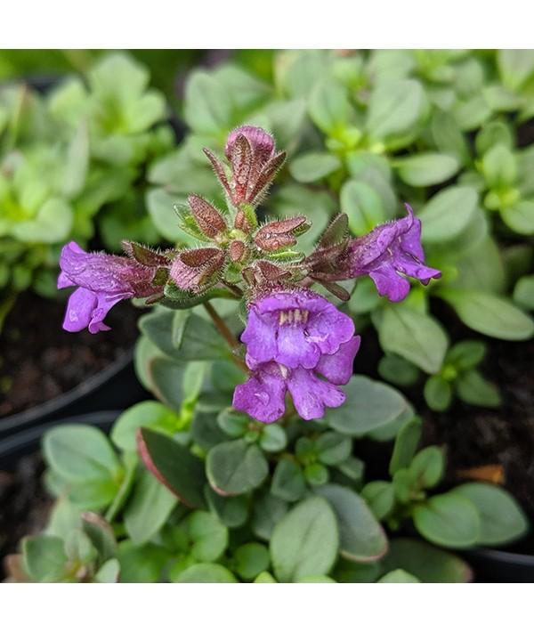 Chaenorhinum origanifolium Blue Dream (0.75lt)