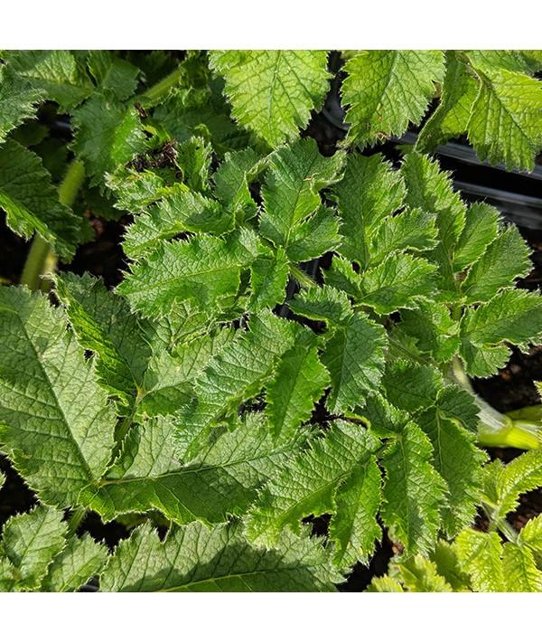 Chaerophyllum creticum (1.5lt)