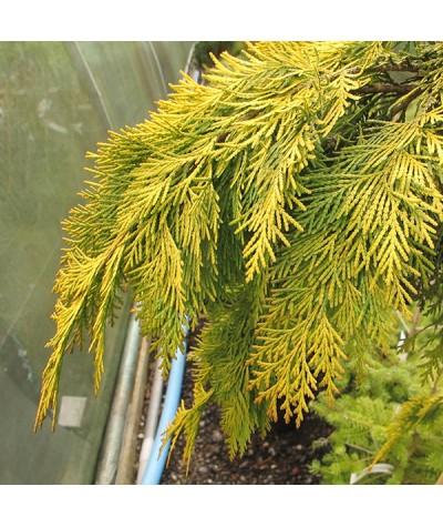 Chamaecyparis lawsoniana Filip's Golden Tears (5lt)