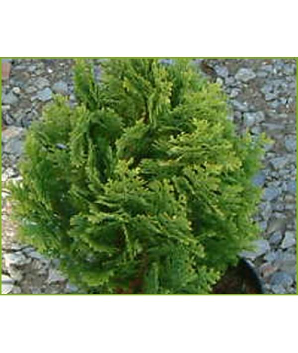Chamaecyparis lawsoniana Minima Aurea (3lt)
