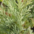 Chamaecyparis lawsoniana Pembury Blue (3lt)