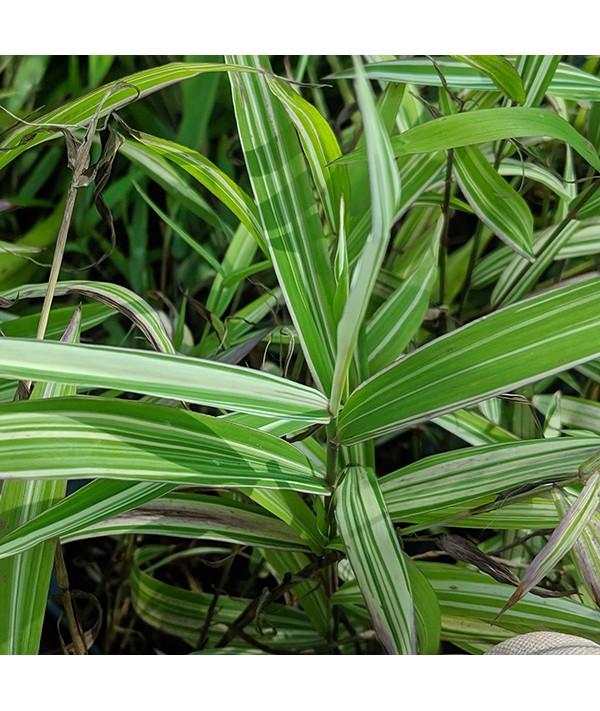 Chasmanthium latifolium River Mist (1.5lt)