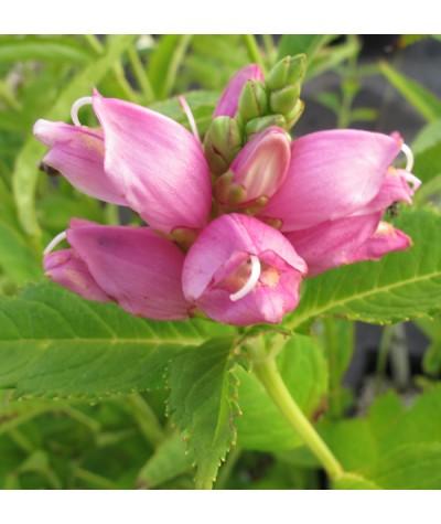 Chelone obliqua (1lt)