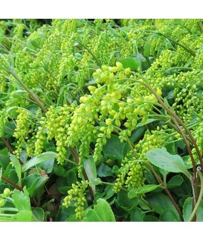 Chiastophyllum oppositifolium (9cm)