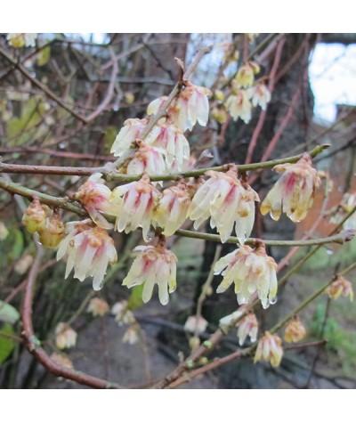 Chimonanthus praecox (20lt)