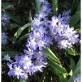 Chionodoxa forbesii Blue Giant (1lt)