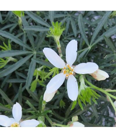 Choisya x dewitteana White Dazzler (Londaz) (2lt)