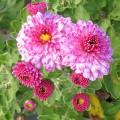 Chrysanthemum Mei-kyo (3lt)