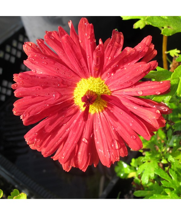 Chrysanthemum Duchess Of Edinburgh (1lt)