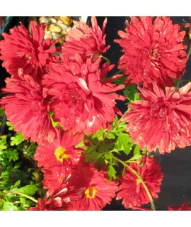 Chrysanthemum Duchess Of Edinburgh (1lt)