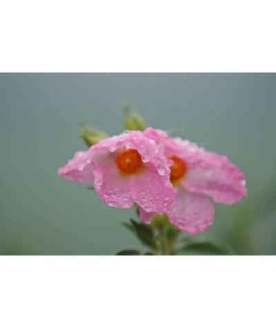 Cistus x argenteus Silver Pink (5lt)