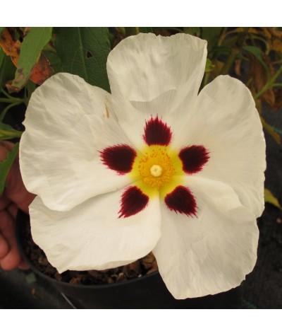 Cistus x aguilarii Maculatus (3lt)