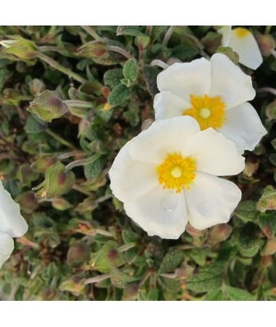 Cistus x obtusifolius (3lt)