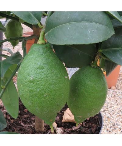 Citrus Lemon Four Seasons (20lt)
