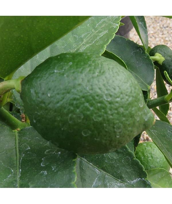 Citrus x latifolia (Tahiti Lime) (3lt)